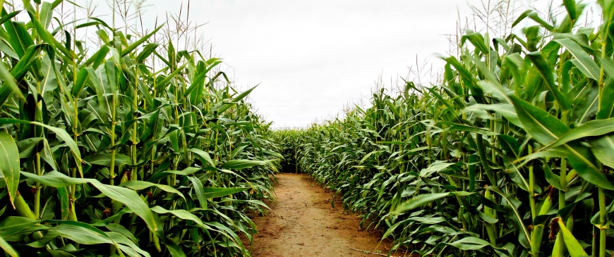 Genetically modified crops: Time to move on from theological dispute